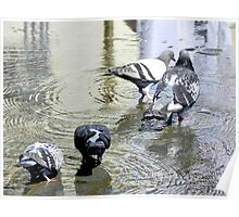 Four Pigeons Drinking Poster