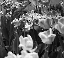 tulips chicago by bjphotographs
