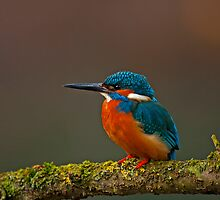 Male Kingfisher by PaulScoullar