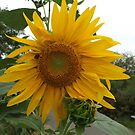 NY August Sunflower Close-Up, Liberty State Park, New Jersey by lenspiro