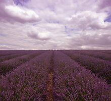 Lavender Field by Nigel Bangert