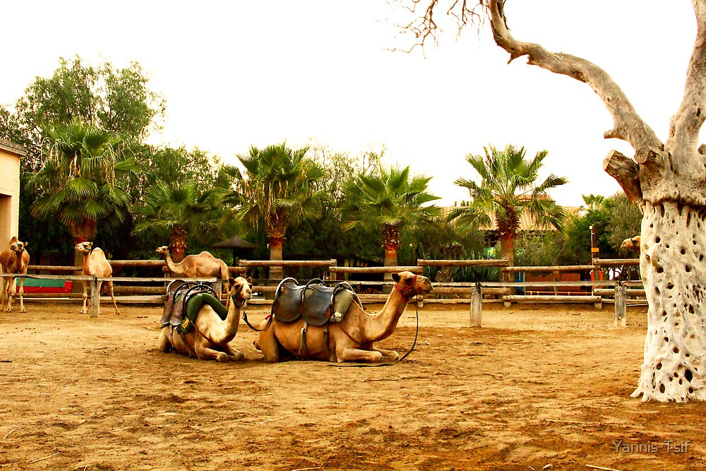 camels by Yannis-Tsif