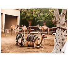 Camels at park Poster