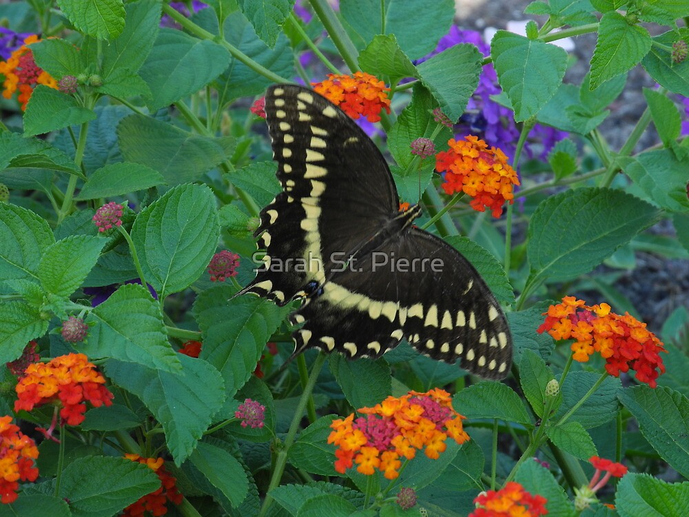 Black Swallowtail butterfly by Sarah St. Pierre