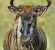 Wondering Wildebeest by Macky