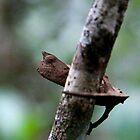 Peek a Boo -  Tiny Chameleon - Brookesia superciliaris - Andasibe Madagascar by john  Lenagan