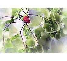 Spydrangea Photographic Print