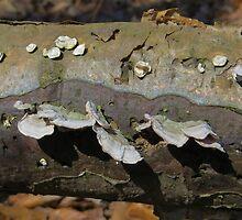 Oyster Mushrooms  by SRowe Art