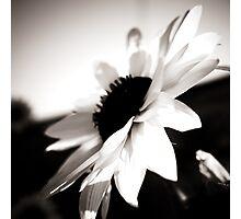 Sunflowers BW Photographic Print