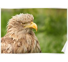 white tailed eagle portrait Poster
