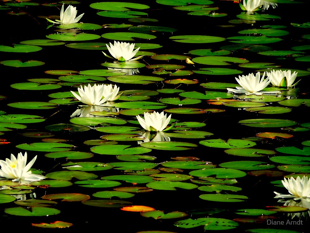 Water Lily Heaven by Diane Arndt