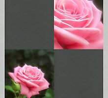 Pink Roses in Anzures 3 Blank Q6F0 by Christopher Johnson