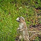 Fox Squirrel (HDR) by Jeff Ore