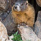 Posing Marmot by Eivor Kuchta