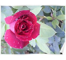 Water Dropped Rose Poster