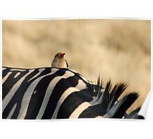 Zebra and Oxpecker- Moremi GR, Botswana Poster