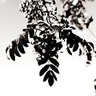 Rowanberries in monochrome by Alex Volkoff