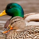 Male and Female Mallard Duck by Michael Cummings