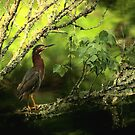 Green Heron by DHParsons