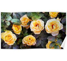 Pierre's Peach Roses Poster