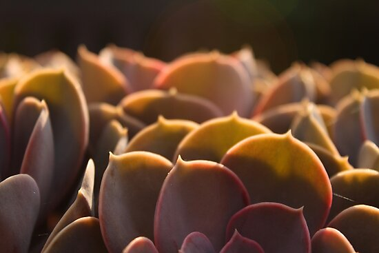 The Orpine close-up by Jeroen van Ommen