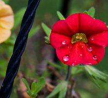 Calibrachoa Blossoms with a Twist by Otto Danby II