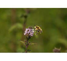Bee Pollination Photographic Print