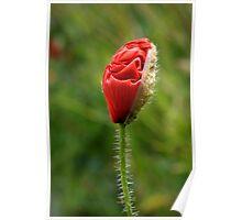 Birth of a poppy Poster