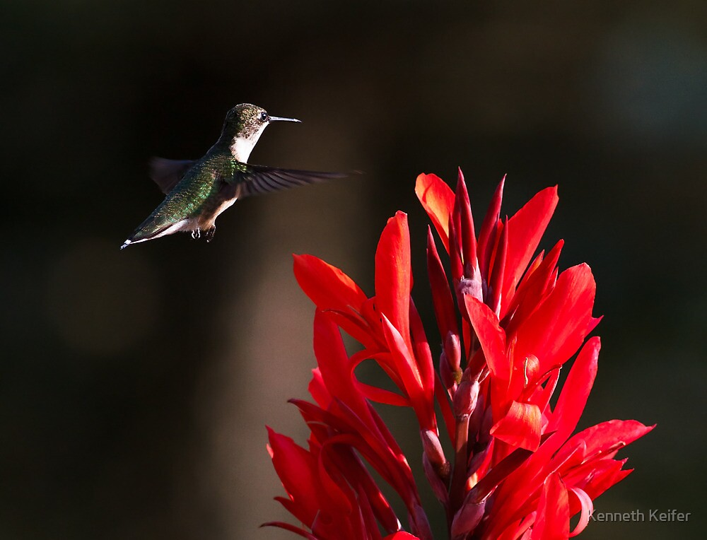 Hummingbird and Red Canna by Kenneth Keifer