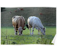 Moo Cows Poster