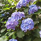 The Hydrangeas of Heligan by kathrynsgallery