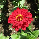 Sunlit Scarlet Dahlia - Heligan by MidnightMelody