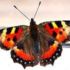 Papilio by Gervlove