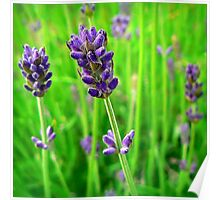 A Little Bit of Lavender in a Sea of Green Poster