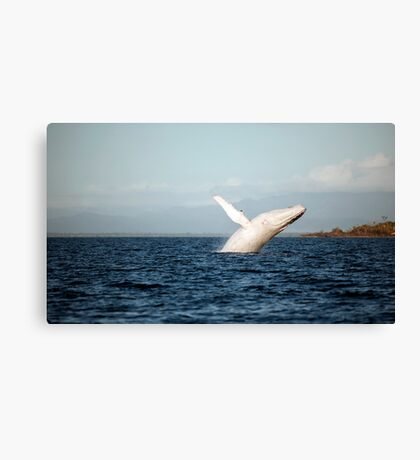 Show Off - Migaloo the white whale Canvas Print