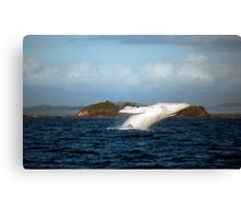 Migaloo in action... Canvas Print