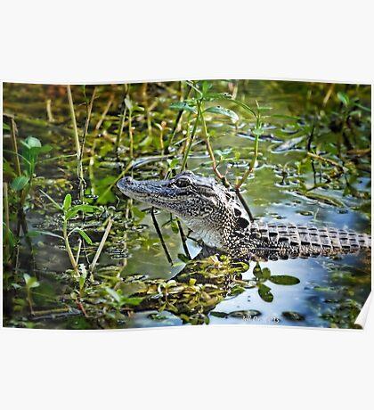 Little Gator  Poster