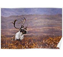 Denali Bull Caribou Poster