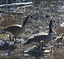 Canada Geese I  by zumi