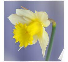 Lemon Daffodil Poster