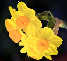Jonquils  by Alison Hill