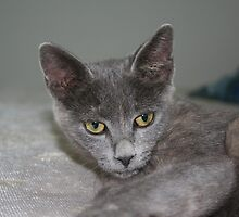 Beautiful Portrait of A Grey Russian Cross Tabby Cat by taiche
