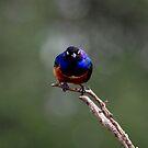 Superb Starlings (Lamprotornis superbus ) Tarengere Np Tanzania by john  Lenagan