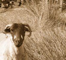 Yorkshire Sheep Sticker