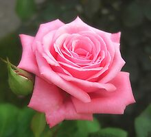 Pink Roses in Anzures 4 by Christopher Johnson
