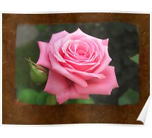 Pink Roses in Anzures 4 Blank P3F0 Poster