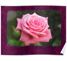Pink Roses in Anzures 4 Blank P8F0 Poster