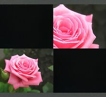 Pink Roses in Anzures 4 Blank Q2F0 by Christopher Johnson
