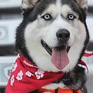 Siberian Husky Canvas Ready by sky2007