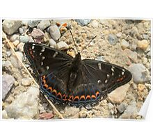 Poplar Admiral butterfly on mountain path, Bulgaria Poster